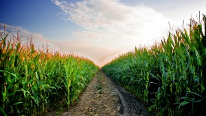 A road leads deep into a  Kansas cornfield in late July.